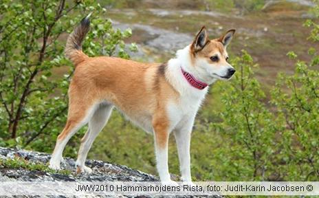 norsk hund